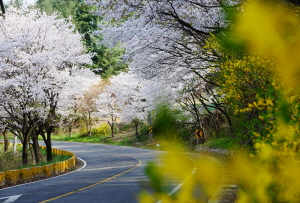 세종시 드라이브 명소 고복저수지 벚꽃길