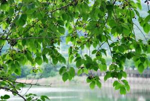 버찌열매 까맣게 익어가는 세종시 고복저수지 초여름 풍경