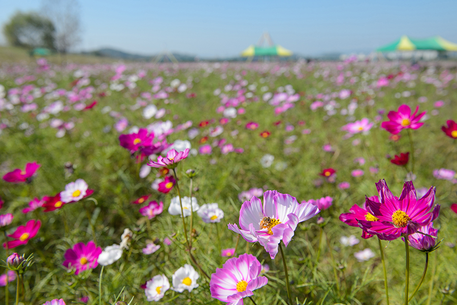 image-Mihocheon Streamside Cosmos Flower Festival