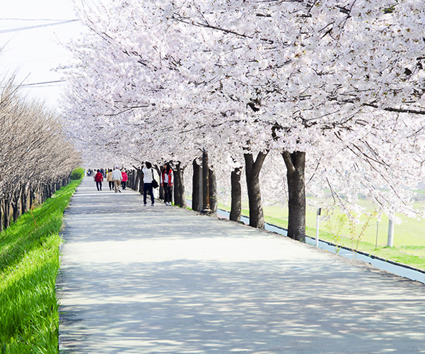 Three Major Cherry Blossom Paths 1