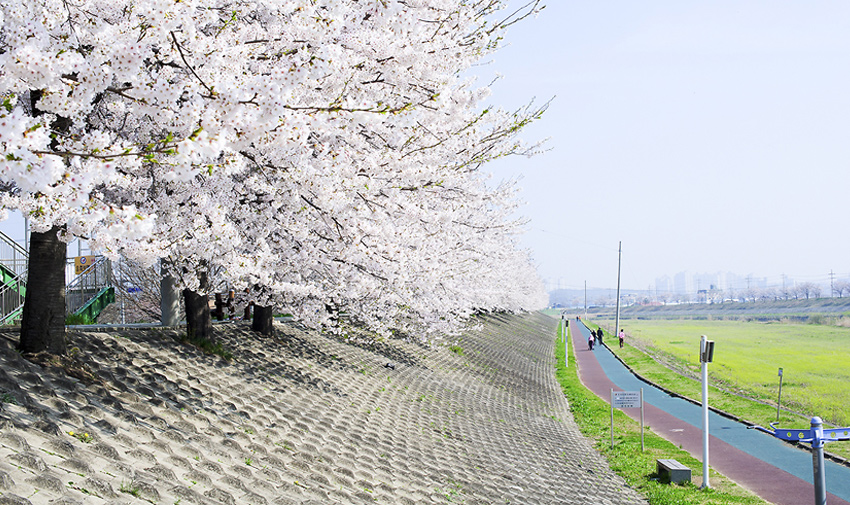 Three Major Cherry Blossom Paths 2