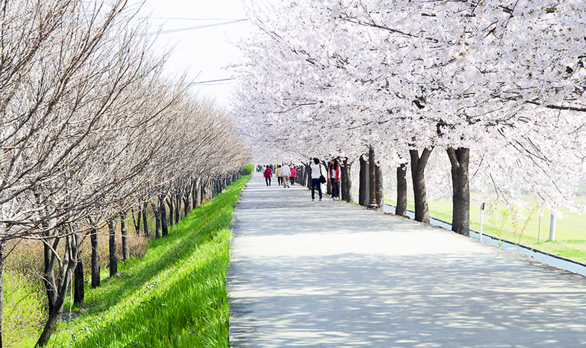 Three Major Cherry Blossom Paths 10