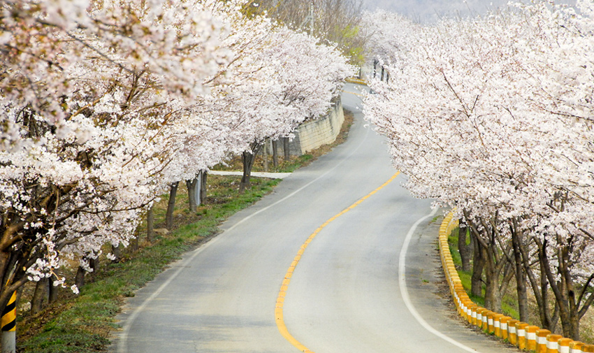 Three Major Cherry Blossom Paths 11
