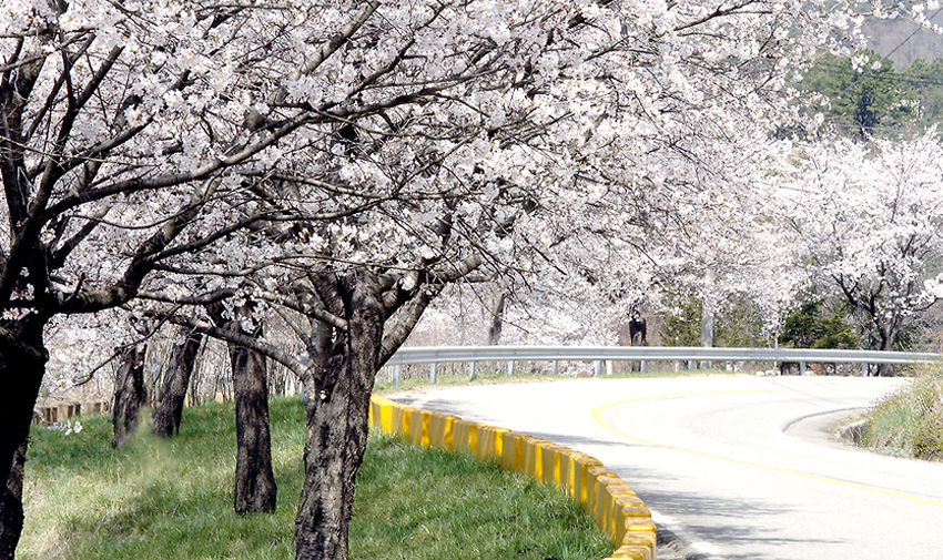 Three Major Cherry Blossom Paths 17