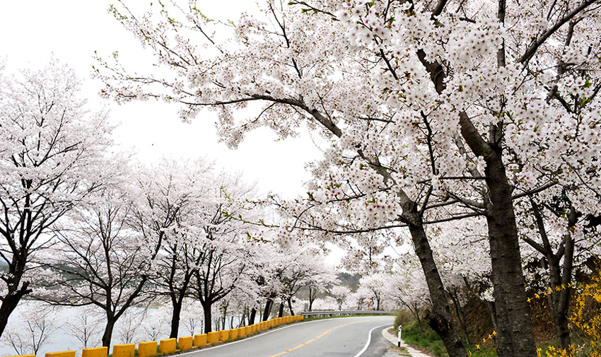 Three Major Cherry Blossom Paths 18