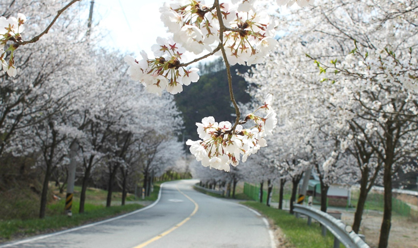 Three Major Cherry Blossom Paths 20