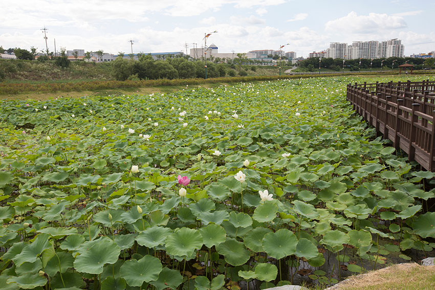 Jocheon Lotus Flower Park 3
