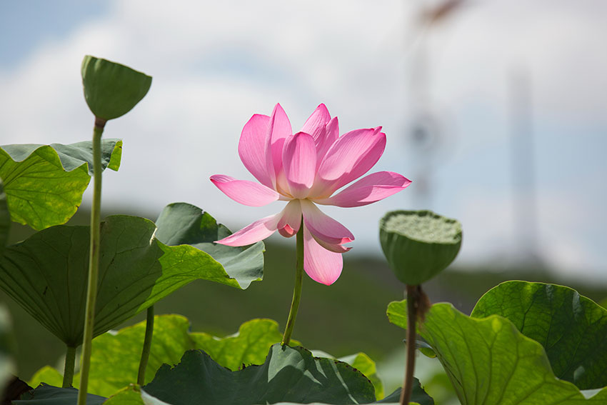Jocheon Lotus Flower Park 6.